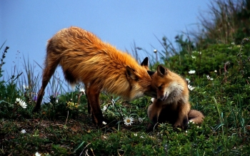 Animal - Fox Wallpapers and Backgrounds ID : 438066