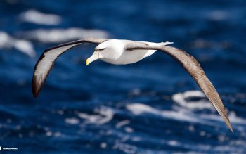 Animal - Albatross Wallpapers and Backgrounds ID : 438705