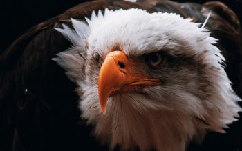 Animal - Eagle Wallpapers and Backgrounds ID : 439178