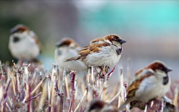Animal - Sparrow Wallpapers and Backgrounds ID : 439401