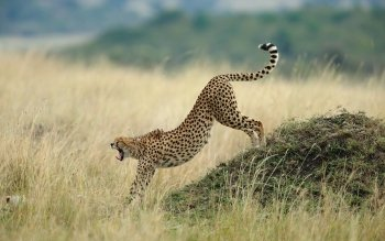Djur - Cheetah Wallpapers and Backgrounds ID : 441894