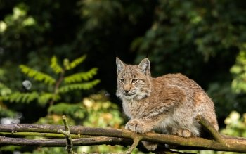 Animal - Lynx Wallpapers and Backgrounds ID : 442063