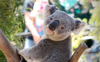 84 Koala Fonds D Ecran Hd Arriere Plans Wallpaper Abyss