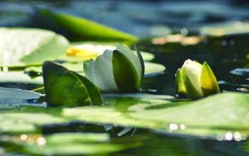Earth - Water Lily Wallpapers and Backgrounds ID : 447324