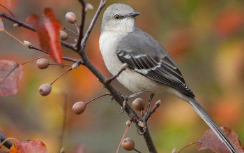 Animal - Mockingbird Wallpapers and Backgrounds ID : 448053