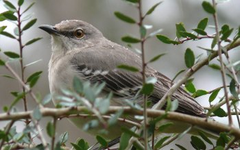 Tier - Mockingbird Wallpapers and Backgrounds ID : 448054