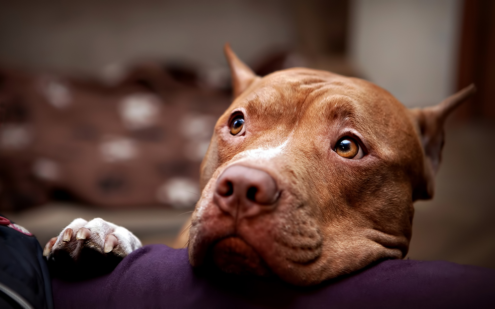 Pit bull full hd tapeta and t o 1920x1200 id 449501 - Pitbull dogs pictures wallpaper ...