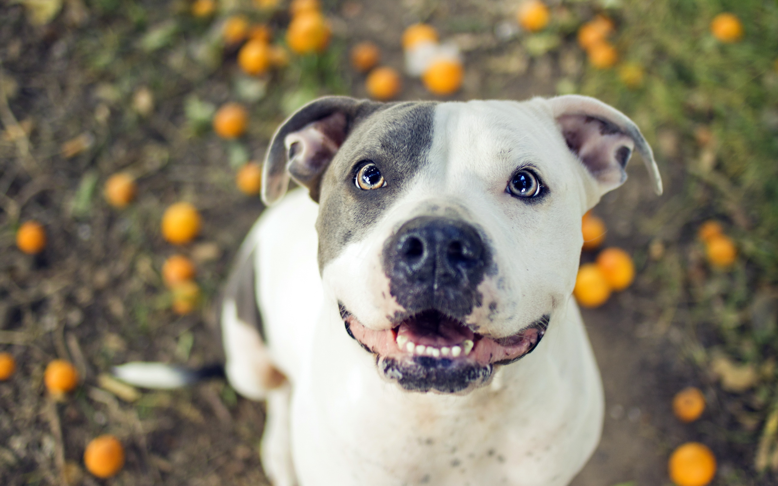 Pit bull full hd wallpaper and background image - Pitbull dogs pictures wallpaper ...