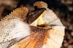 Preview Frilled Lizard
