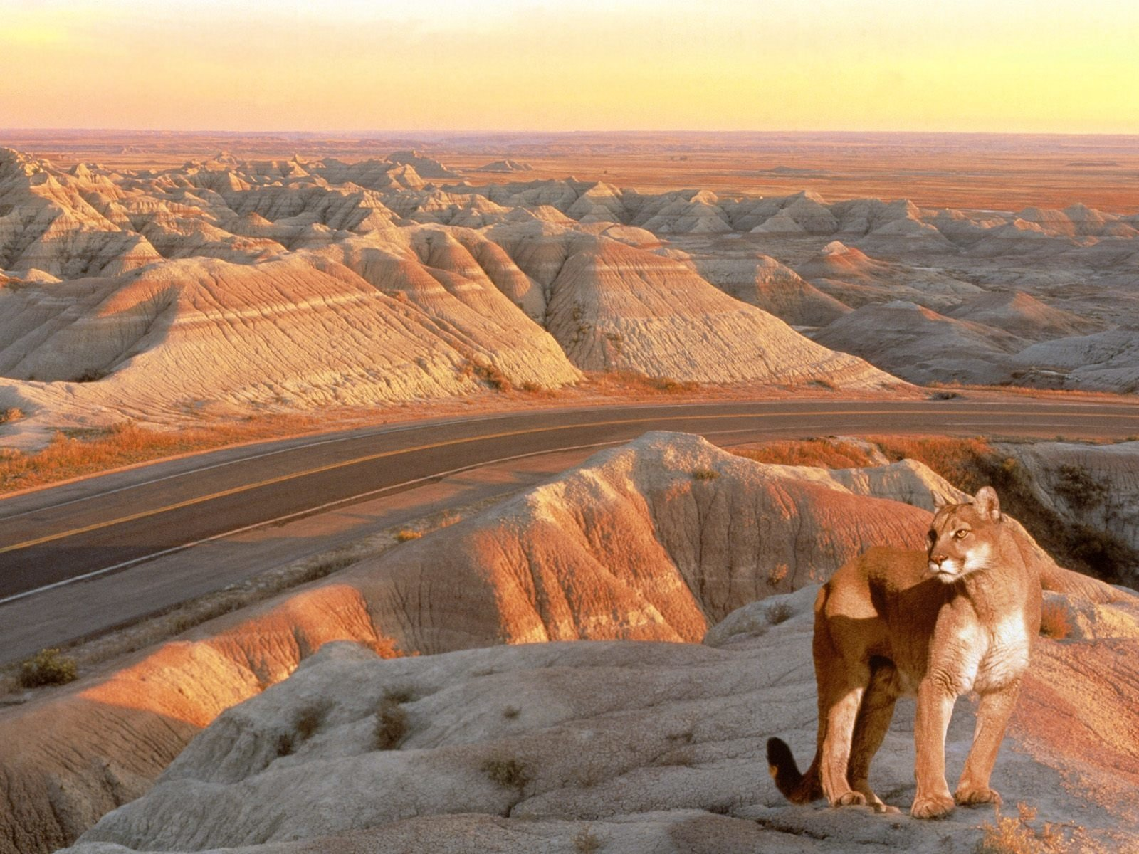 Animal - Cougar  Lion Wallpaper