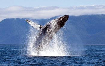 Animal - Whale Wallpapers and Backgrounds ID : 449357