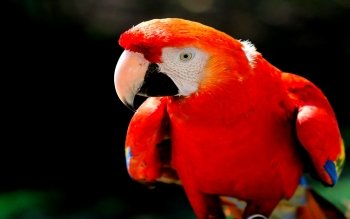 Animal - Macaw Wallpapers and Backgrounds ID : 449424