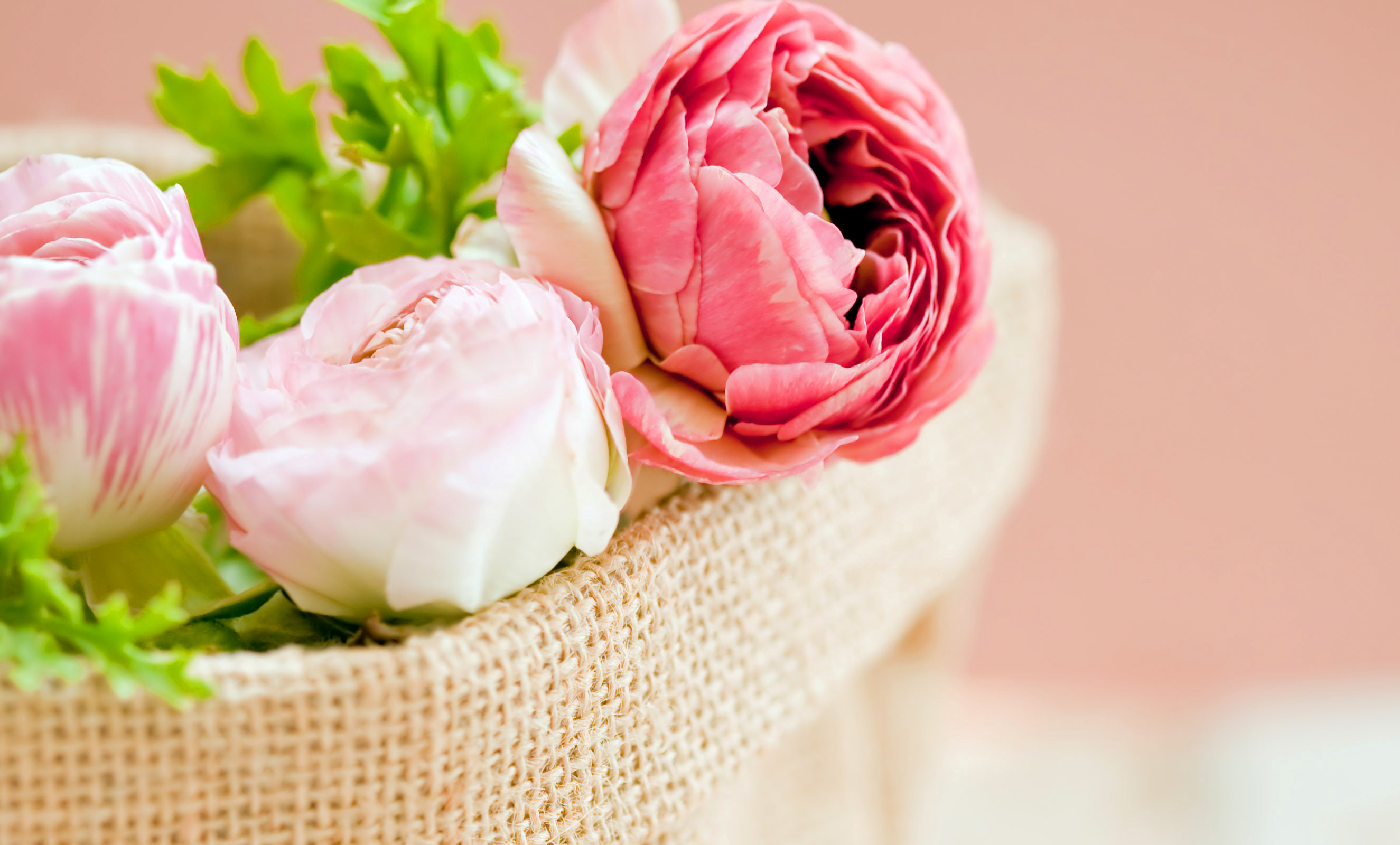 Wall Paper Wide Pink Rose Colours Soft Nature Flower: Rose Full HD Wallpaper And Background Image