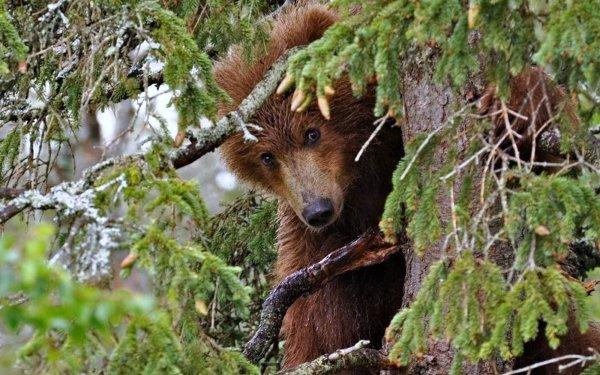 Animal Bear Bears HD Wallpaper   Background Image