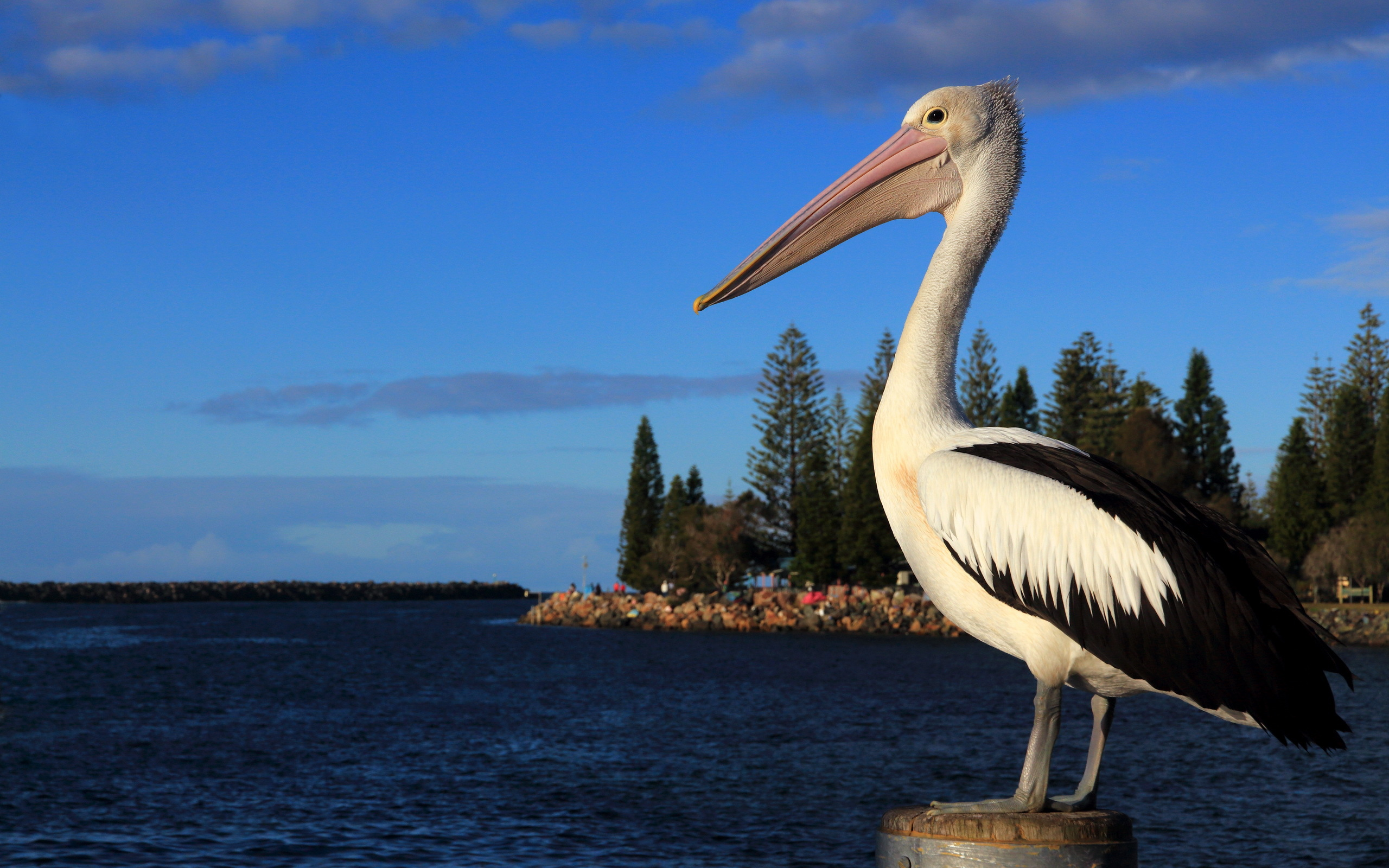 Pelican Full HD Wallpaper And Background Image