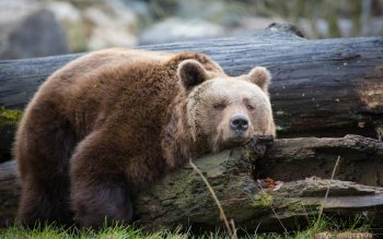 Animal - Bear Wallpapers and Backgrounds ID : 454129