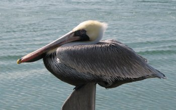 Djur - Pelican Wallpapers and Backgrounds ID : 454781