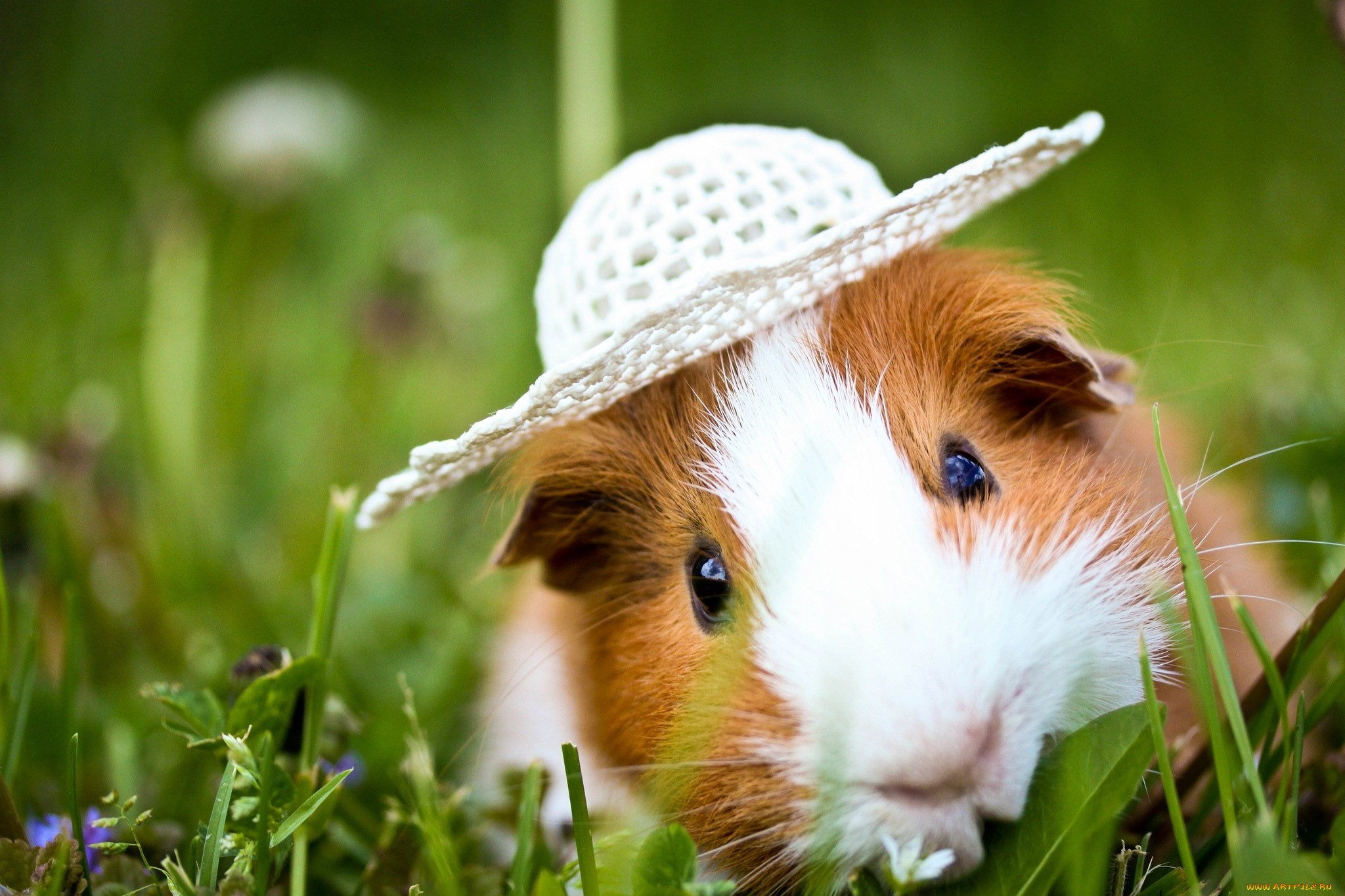 guinea pig full hd wallpaper and background 2048x1365
