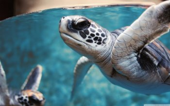 Animal - Turtle Wallpapers and Backgrounds ID : 456755