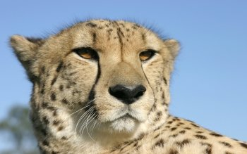 Djur - Cheetah Wallpapers and Backgrounds ID : 456934