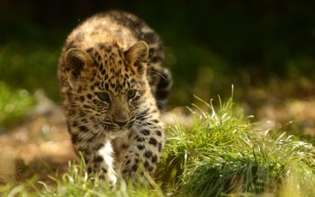 Animalia - Leopard Wallpapers and Backgrounds ID : 456936