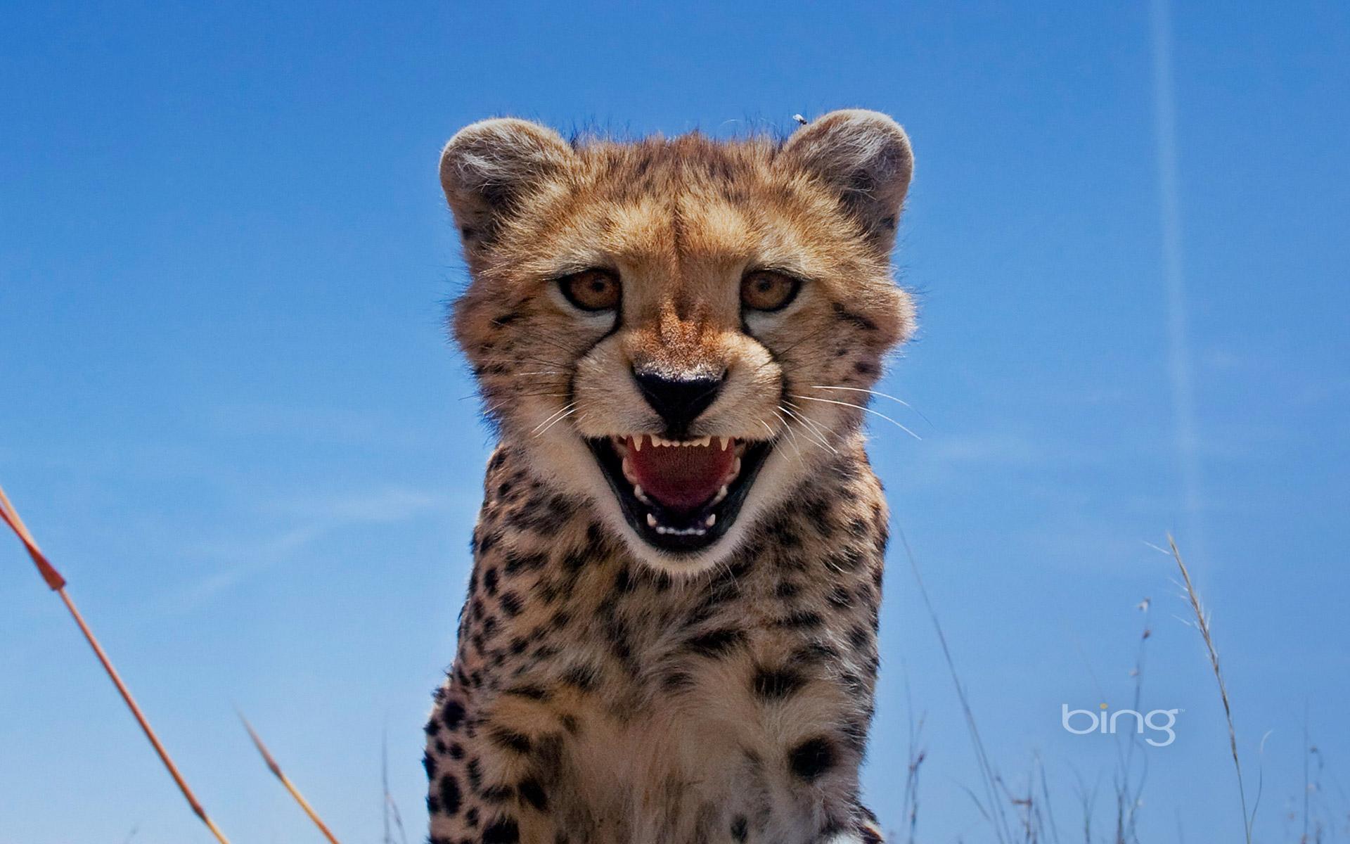 Wallpaper Cheetah Pair Hd Animals 6057: Cheetah Full HD Wallpaper And Background Image