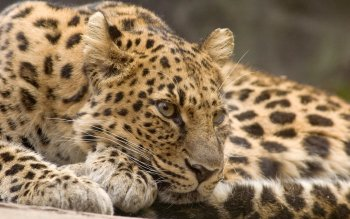Animalia - Leopard Wallpapers and Backgrounds ID : 459386