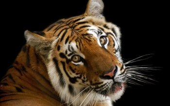 Tier - Tiger Wallpapers and Backgrounds ID : 460162