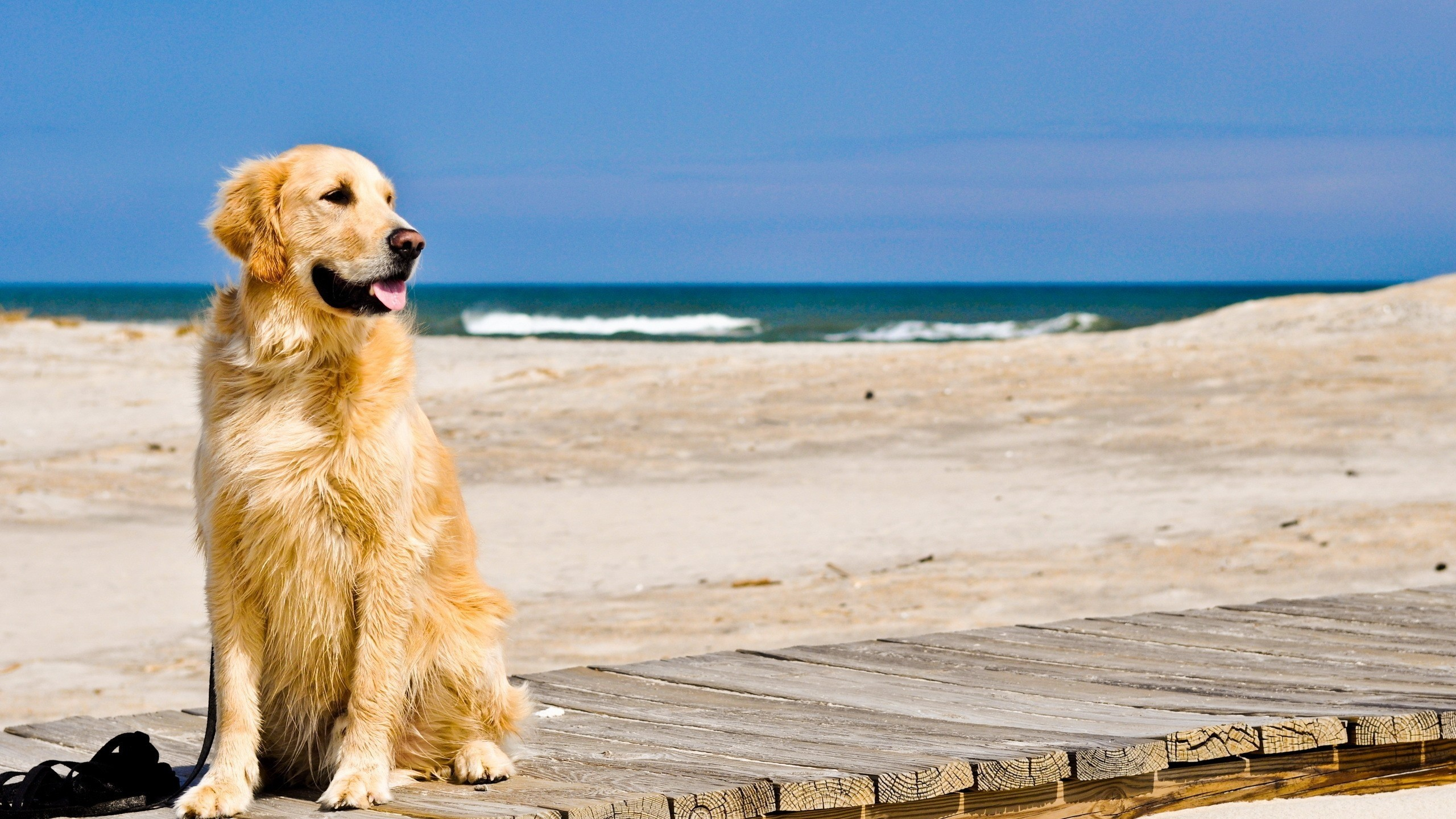 331 Golden Retriever Hd Wallpapers Background Images Wallpaper Abyss
