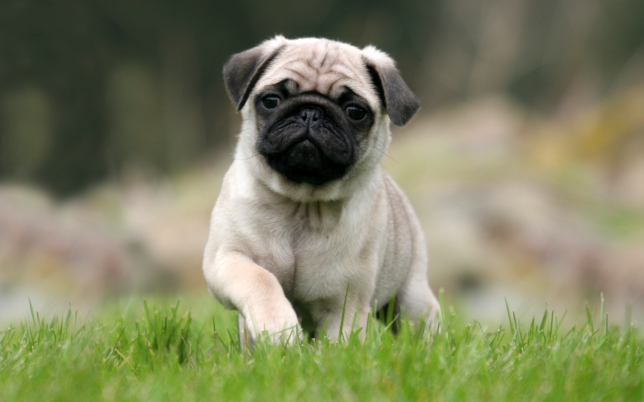 Pug Full HD Wallpaper And Background