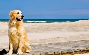 Animal - Golden Retriever  Wallpapers and Backgrounds ID : 462329