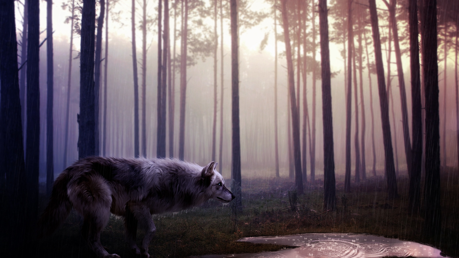 Wolf Full HD Wallpaper and Background Image | 1920x1080 ...