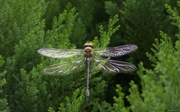 Animal - Dragonfly Wallpapers and Backgrounds ID : 463355
