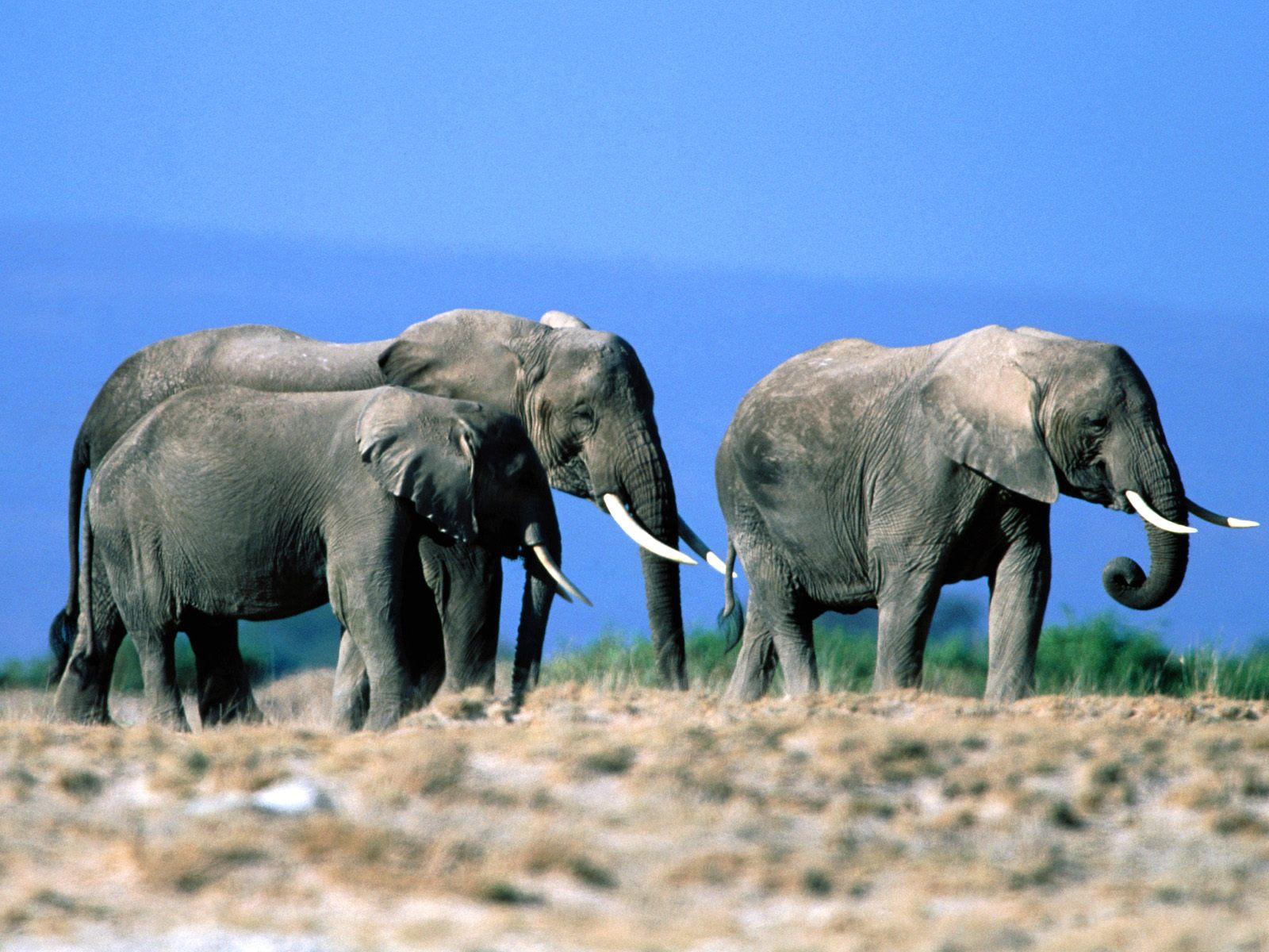 elephant computer wallpapers desktop backgrounds