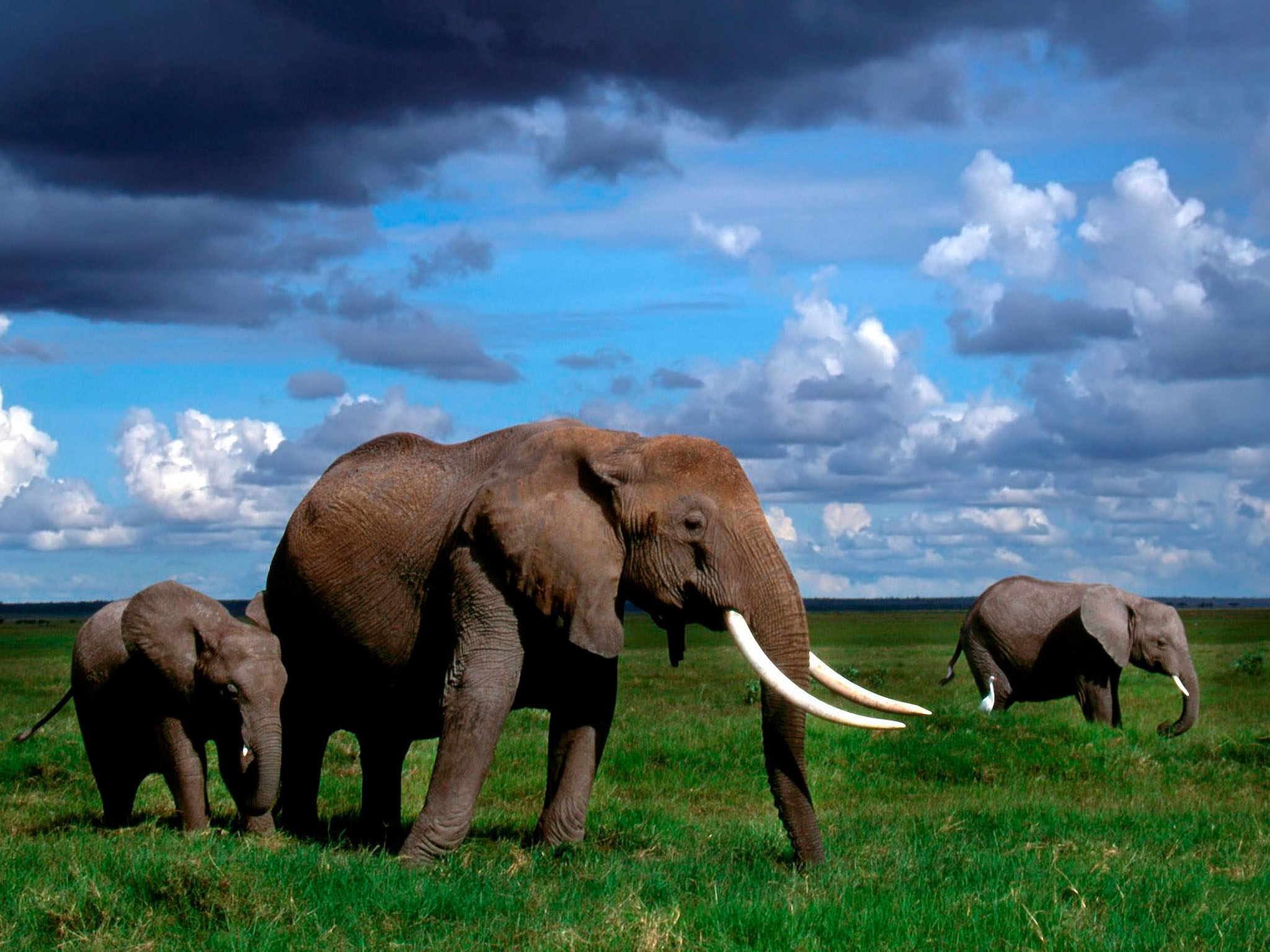 Elephant Full HD Wallpaper And Background Image