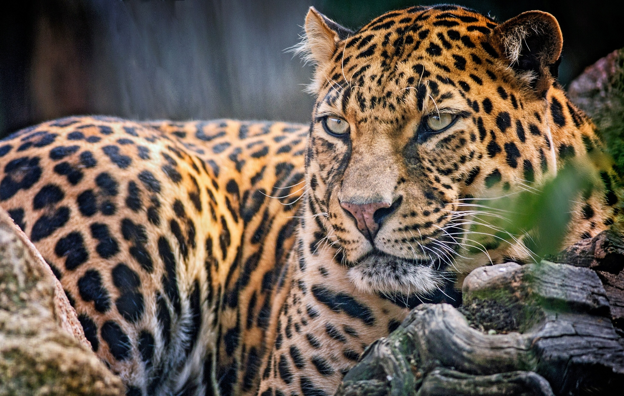 Jaguar full hd wallpaper and background image 2048x1299 - Jaguar animal hd wallpapers ...