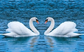 Animal - Swan Wallpapers and Backgrounds ID : 464227