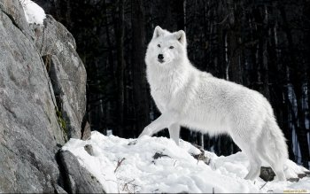 Animal - Wolf Wallpapers and Backgrounds ID : 464399