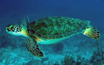Djur - Turtle Wallpapers and Backgrounds ID : 465304