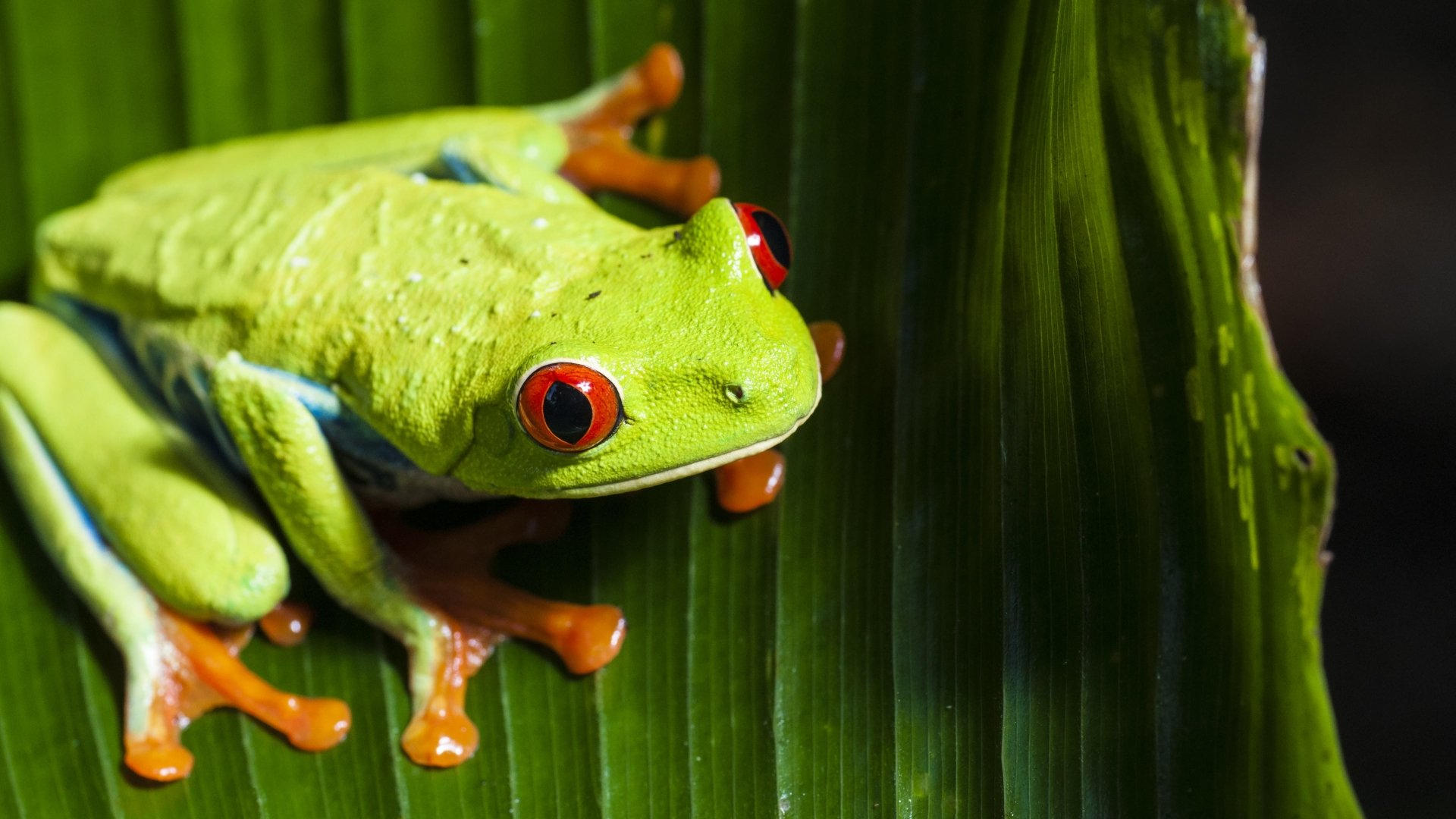 Animal - Red Eyed Tree Frog  Eye Frog Wallpaper