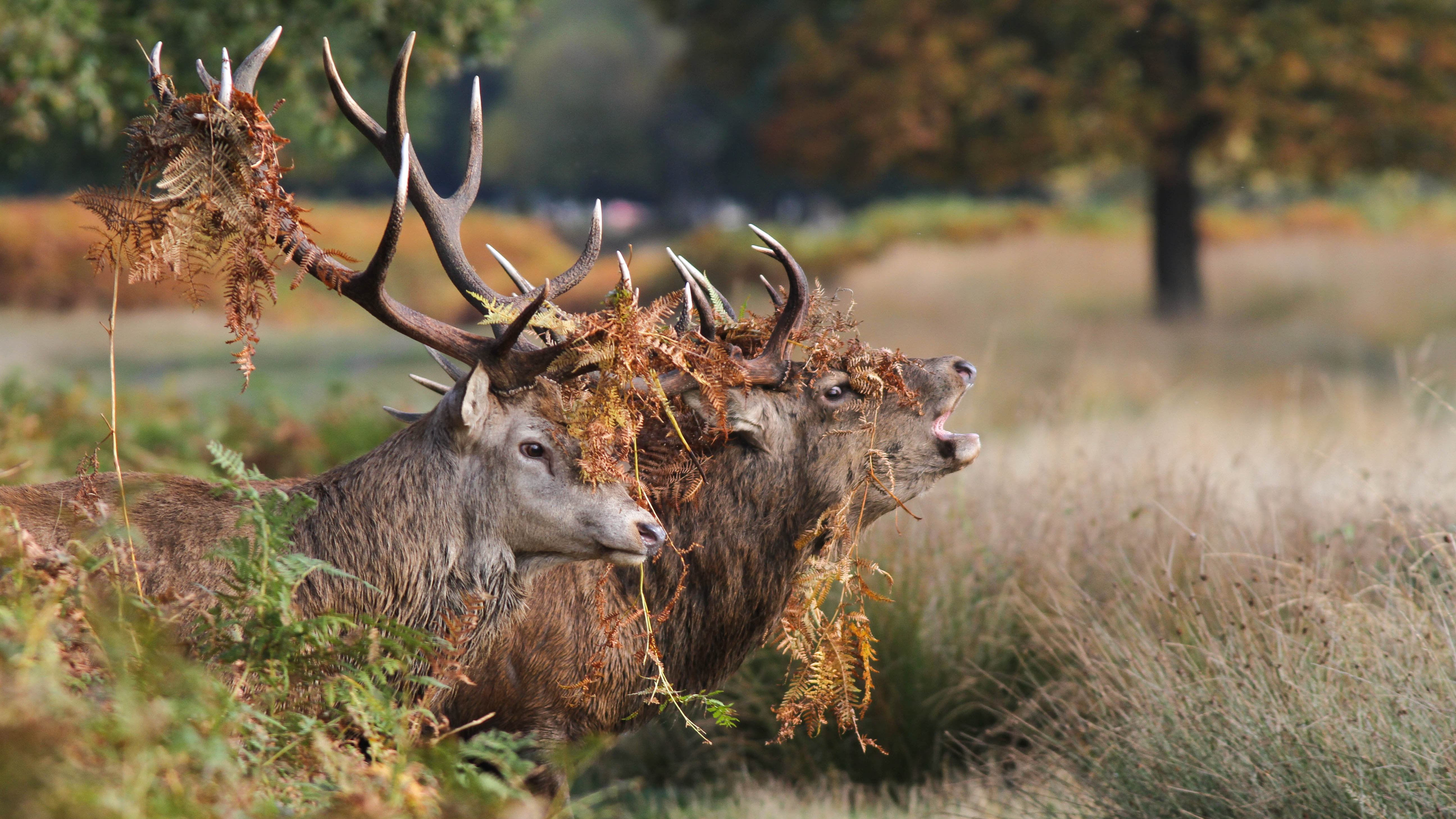 5 Red Deer HD Wallpapers  Backgrounds Wallpaper Abyss