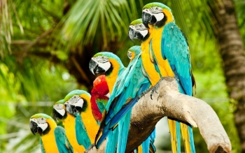 Tier - Macaw Wallpapers and Backgrounds ID : 470589