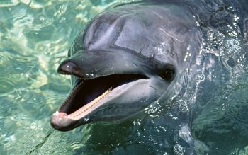 Animal - Dolphin Wallpapers and Backgrounds ID : 471216