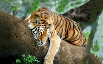 Tier - Tiger Wallpapers and Backgrounds ID : 472722