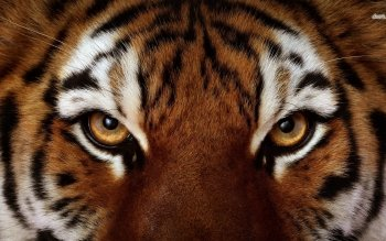 Tier - Tiger Wallpapers and Backgrounds ID : 475571