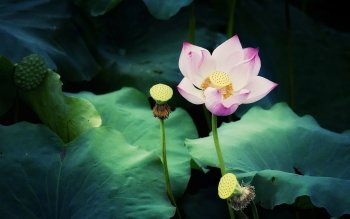 159 lotus hd wallpapers background images wallpaper abyss hd wallpaper background image id477614 mightylinksfo