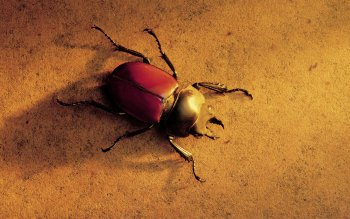 Animal - Beetle Wallpapers and Backgrounds ID : 477745