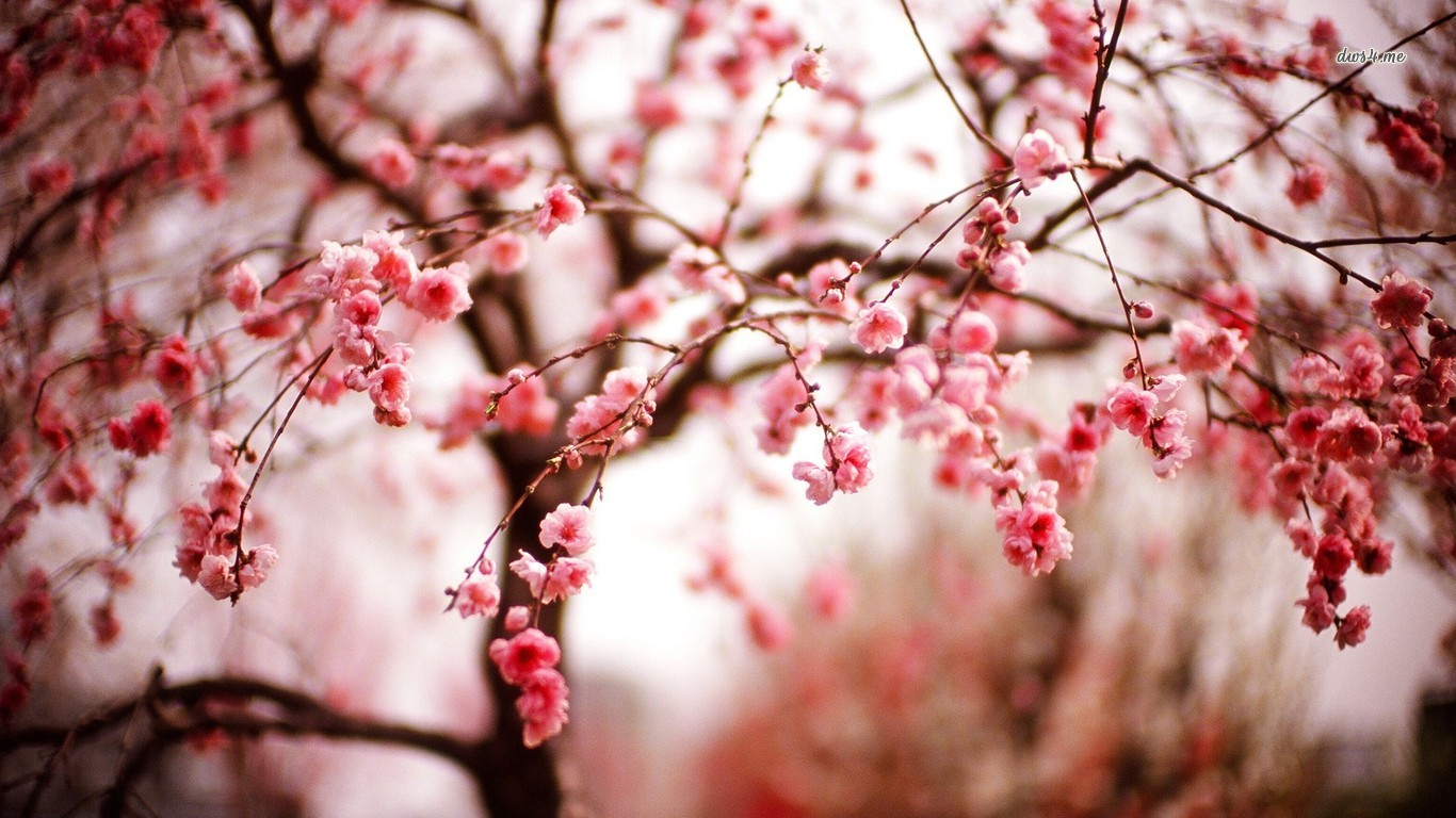 cherry blossom wallpaper hd iphone