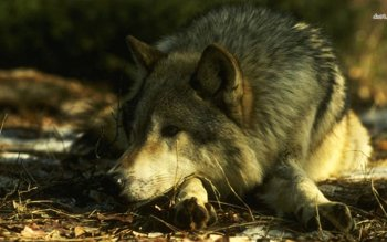 Animal - Wolf Wallpapers and Backgrounds ID : 483559