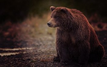 Animal - Bear Wallpapers and Backgrounds ID : 487148